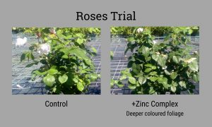 Sinclair roses trial