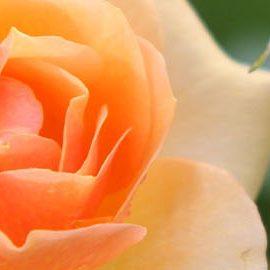 zinc complex roses